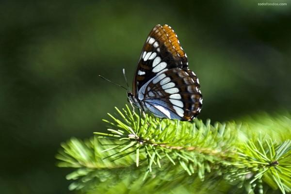Mariposa en la rama de un pino
