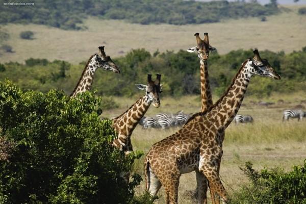 Grupo de jirafas con cebras al fondo