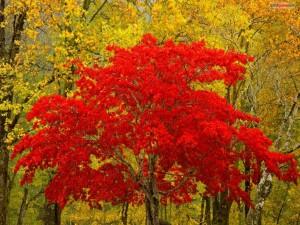 Postal: Árbol de hojas rojas