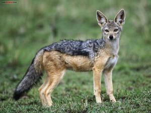 Postal: Coyote