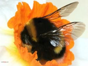 Abejorro en una flor naranja