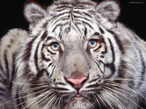 Tigre blanco rallado