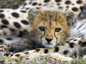 Postal: Cachorro de guepardo