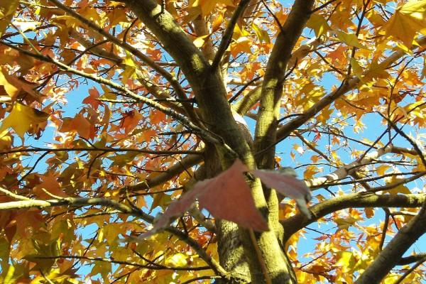 Otoñales hojas amarillas
