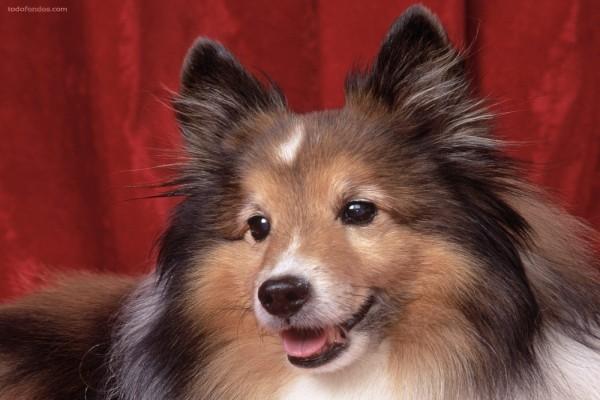 Perro tricolor