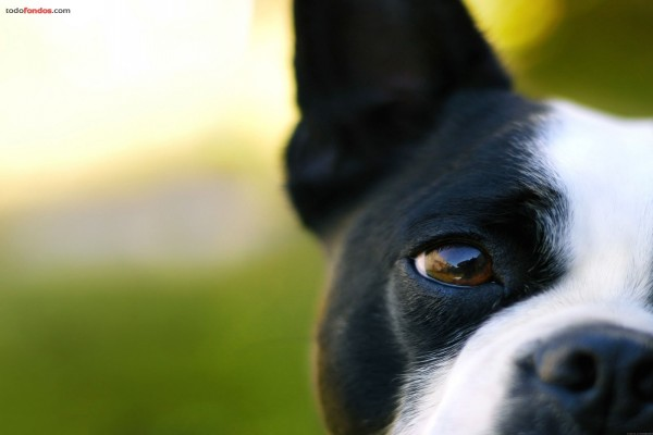Ojo de perro