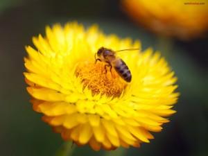 Abeja en una perfecta flor amarilla