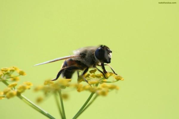 Abeja libando una flor amarilla