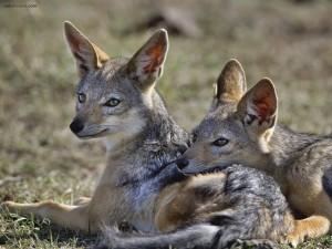 Coyotes descansando