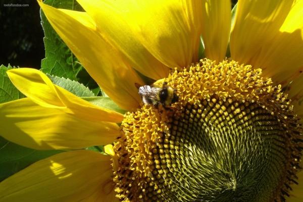 Una abeja en un girasol