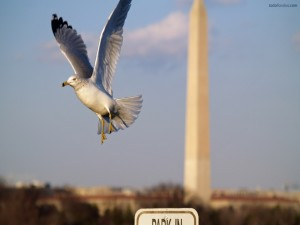 Una gaviota en Washington D. C.