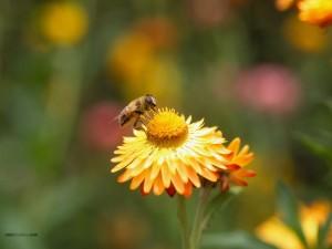 Postal: Recolectando polen