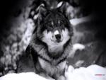 Lobo de ojos azules