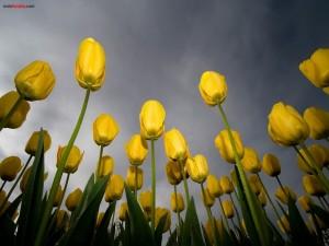 Postal: Tulipanes amarillos