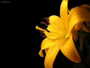 Postal: Lilium (Lirio) amarillo