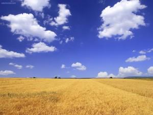 Campo de trigo (trigal)