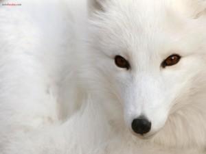 Postal: Zorro polar blanco