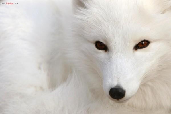 Zorro polar blanco