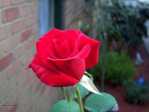 Postal: Una rosa roja
