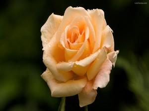 Una rosa color champán