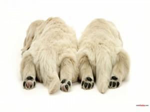 Osos polares boca abajo