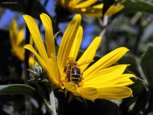 Postal: Abeja dentro de una flor amarilla