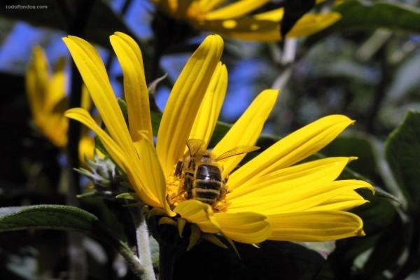 Abeja dentro de una flor amarilla