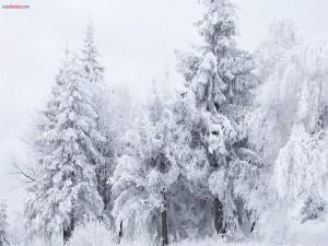 Postal: Árboles blancos por la nieve