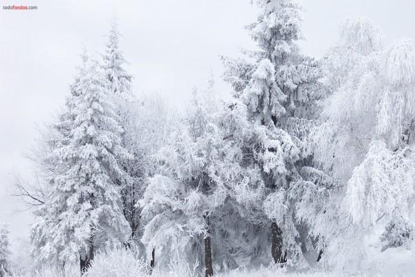Árboles blancos por la nieve
