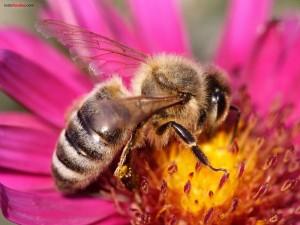 Abeja extrayendo el polen