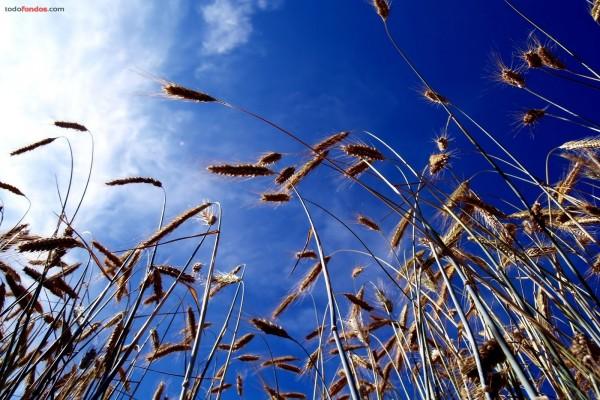 Trigo sobre un cielo azul