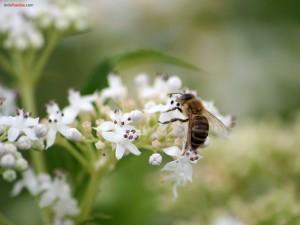 Abeja alimentandose de flores blancas