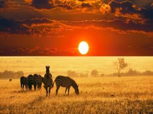 Cebras en la sabana africana