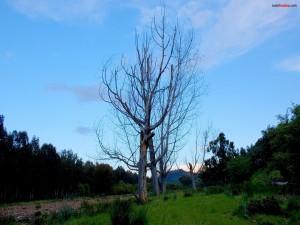 Postal: Árboles sin hojas
