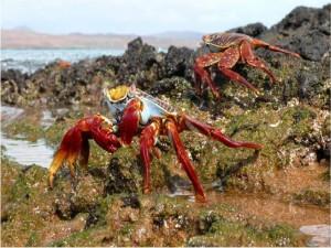 Cangrejos en las Islas Galápagos