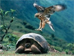 Postal: Tortuga gigante de las Galápagos siendo atacada