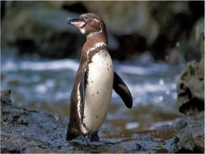 Pingüino de las Galápagos