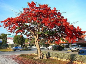 Postal: Árbol de flores rojas