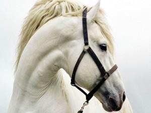 Cabeza de un caballo blanco