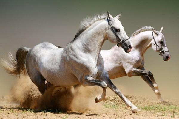 Pareja de caballos blancos