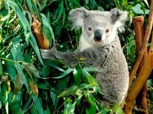 Postal: Koala entre eucaliptos