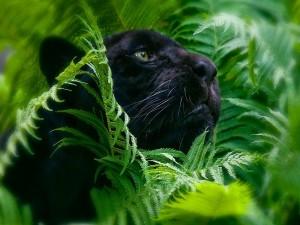 Pantera negra entre la espesura
