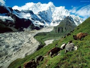 Postal: Ganado pastando en la falda de la montaña