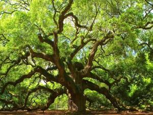 Postal: Un árbol milenario