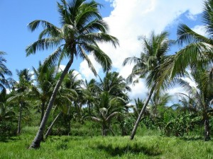 Campo de palmeras
