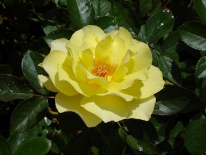 Postal: Rosa amarilla