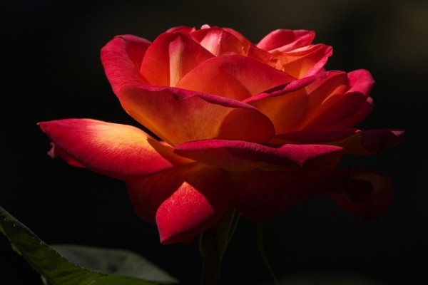 Una delicada rosa roja