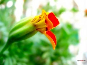 Flor abriéndose
