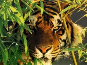 Tigre camuflado