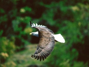 Postal: Águila planeando